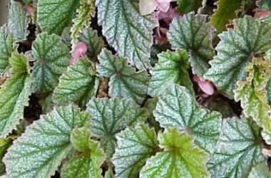 Begonia Frosty [hyb]