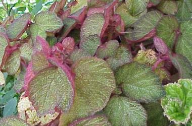 Begonia Morocco [hyb]