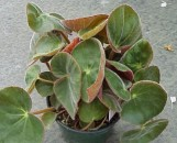 Begonia acetosa [hyb]