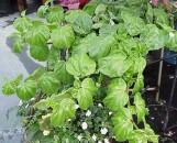 Begonia convolvulacea