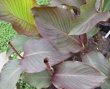 Canna indica purpurea / Red Stripe [Greenline]