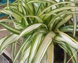 Chlorophytum comosum White Lightning