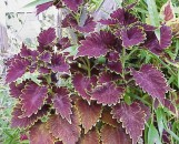 Coleus Black Magic