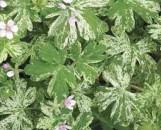 Geranium yoshinoi Confetti