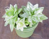 Haworthia lancioletta variegata [hort]