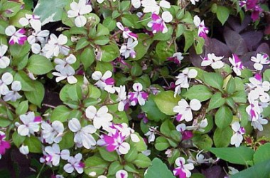 Impatiens Mini-Hawaiian Hawaii [hyb]