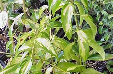 Jasminum nitidum magnificum variegated