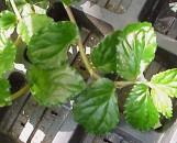 Pellionia argentea