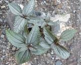 Pilea pubescens liebmannii Silver Cloud