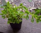 Plectranthus hadiensis tomentosus Carnegie