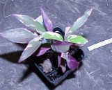 Pseuderanthemum Vaudeville [Sp. Hansoti #42]