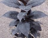 Pseuderanthemum atropurpureum curruthersii