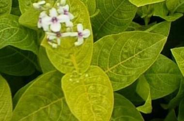 Pseuderanthemum reticulatum