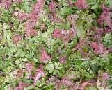 Pteris quadriaurita tricolor