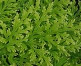 Selaginella pallescens [emmeliana]