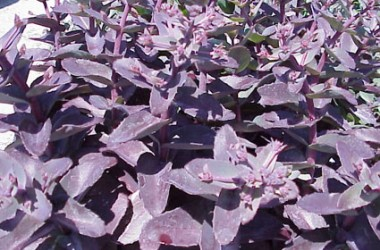Setcreasea [Tradescantia] pallida purpurea