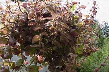 Tradescantia (Gibasis geniculata) Purple Plush [hort]
