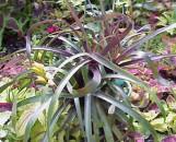 Vriesea blehri