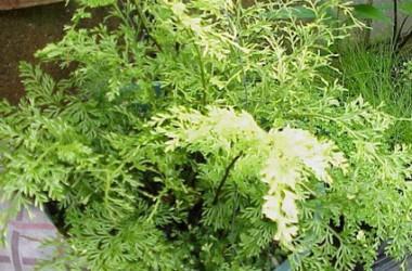 Asplenium bulbiferum Floralee
