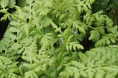 Athyrium filix-femina Victoriae