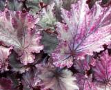 Begonia andrea [hyb]