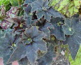 Begonia Black Truffles