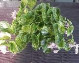 Begonia semperflorens Charm