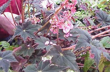 Begonia Gladys Meyer [hyb]
