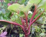 Begonia Hocking Flourish [hyb]