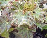 Begonia Hocking Tattoo [hyb]