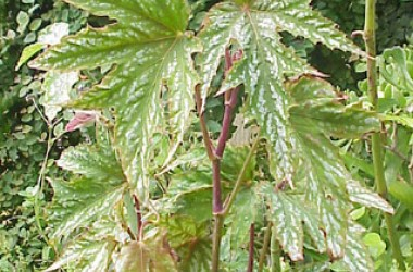 Begonia Intrepid [hyb] [hort]