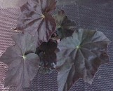 Begonia Plum Gorgeous [hyb]