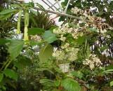 Begonia Chuck B. Jaros [hyb]