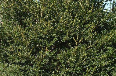 Buxus microphylla japonica Sunnyside