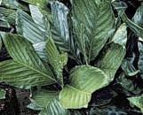 Chamaedorea metalica