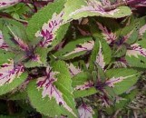 Coleus Hit 'N' Run