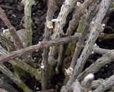 Cynanchum decaisnianum [Affinity]