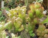 Echinocereus pentalophus erectus monstrosus