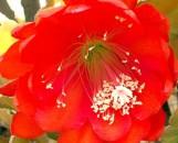 Epiphyllum Carmine Queen [hyb]