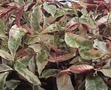Excoecaria cochinchinensis Tricolor Fantasy