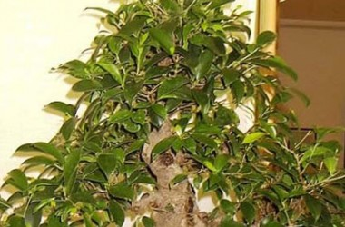Ficus microphylla Golden Gate