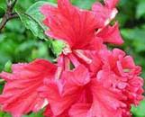 Hibiscus rosa-sinensis el capitalio Sporty