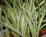 Hymenocallis caribaea variegata