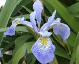 Iris versicolor Gerald Darby