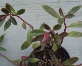 Peperomia Horace Anderson [Species]