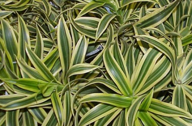 Dracaena reflexa Song Of India