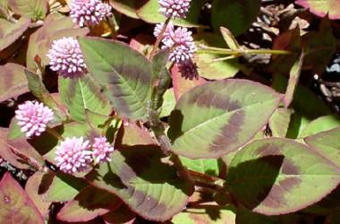 Polygonum capitatum [persicaria capitata]