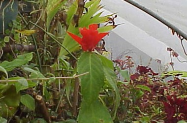 Ruellia colorata [trivialis?]