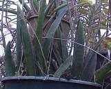 Sansevieria aethiopica [Heidleberg]
