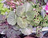 Saxifraga cuscutaeformis Maroon Beauty